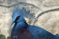 Blue African Pigeon