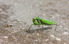Free Green Mantis Royalty Free Stock Photos - 21010878