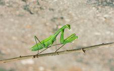Free Green Mantis Stock Photo - 21010880