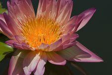 Free Beautiful  Lotus Stock Photography - 21011392
