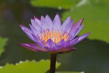 Free Beautiful  Lotus Stock Image - 21011471