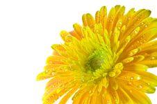 Free Macro Orange Gerbera Flowers Macro Stock Image - 21011481