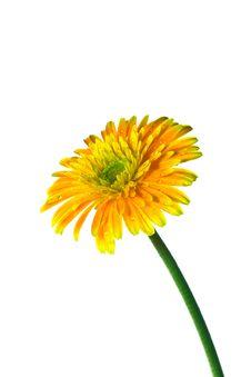 Free Orange Gerbera Stock Images - 21011494