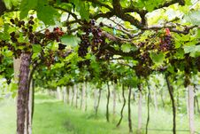 Free Red Grape Royalty Free Stock Photo - 21012005