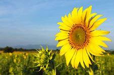 Free Sunflower Field Stock Photo - 21012040