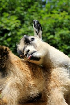 Free Pygmy Goat Bathing Stock Image - 21012051