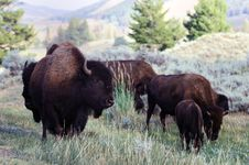 Free Bison Grazing In Yellowstone National Park Stock Image - 21012151