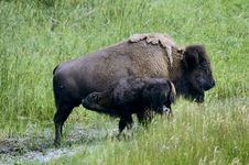 Free Bison Grazing In Yellowstone National Park Royalty Free Stock Photography - 21012157