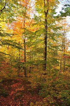Free Autumn Forest Stock Image - 21012321