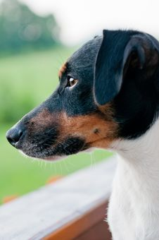 Free Jack Russell Terrier Stock Images - 21012584