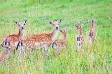 Herd Of Deers Stock Photo