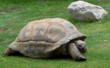 Free Turtle On The Grass Royalty Free Stock Photography - 21013947