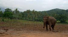 Free Asian Elephant In Sri Lanka Stock Photo - 21014060