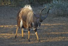 Nyala Bull Royalty Free Stock Image
