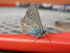 Common Blue Butterfly Male Stock Photos