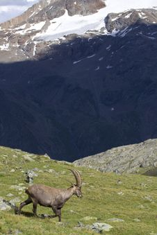 Portrait Of Young Ibex In The Alps Royalty Free Stock Photo
