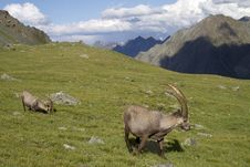 Group Of Ibex In The Alps Royalty Free Stock Photo