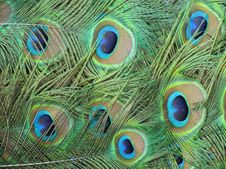Free Peacock Tail Royalty Free Stock Image - 21014586