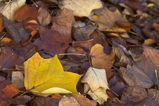 Close-up Of Leaves In Autumn Royalty Free Stock Photography