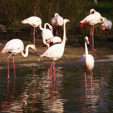 Free Flamingo Royalty Free Stock Image - 21014726