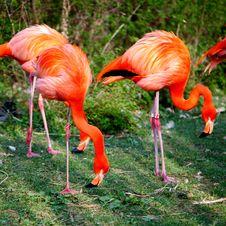 Free Flamingo Royalty Free Stock Photos - 21014738
