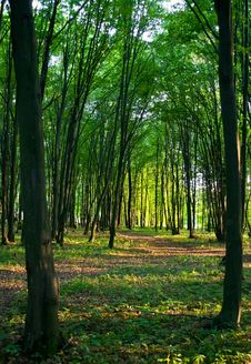 Free Green Forest Royalty Free Stock Photos - 21014808