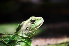 Lizard Royalty Free Stock Image