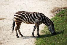 Free Zebra Stock Photos - 21014923