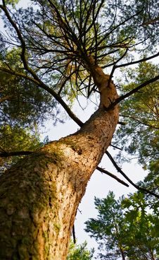 Free Pine Tree Stock Photos - 21015073