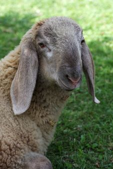 Free Portrait Of A Lamb Royalty Free Stock Images - 21015099