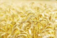 Free Wheat Royalty Free Stock Photos - 21016488