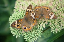 Free Buckeye Butterflies On Sedum Royalty Free Stock Photo - 21017135