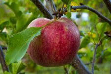 Free Apple Tree Stock Photo - 21017760