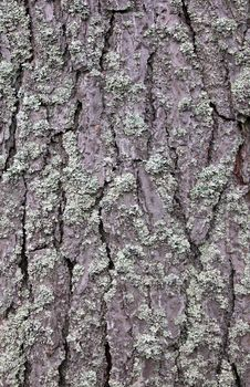 Free Pine Tree Bark Stock Photos - 21018183