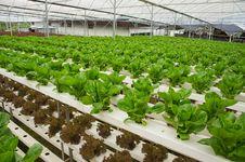 Rows Of Lettuce Stock Photos