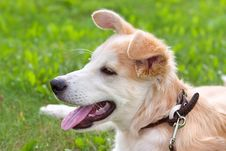 Puppy Lying On A Green Meadow Royalty Free Stock Photo