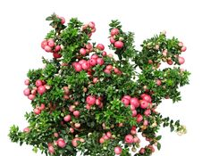 Free Christmas Evergreen Pernettya Plant Stock Photo - 21019890