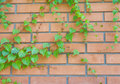 Free Brick Wall And Ivy Hanging Down On It Stock Photos - 21026793