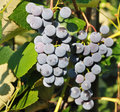Free Bunches Of Blue Grapes Royalty Free Stock Image - 21028446