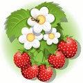 Free Strawberry Royalty Free Stock Image - 21028516