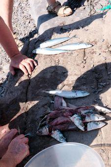 Free Fisherman Fillets A Catch Of Mackerel Stock Image - 21020521
