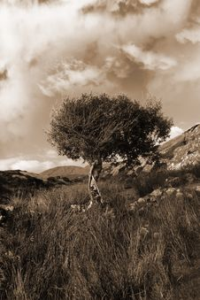 Free Strong Isolated Mountain Tree In Sepia Royalty Free Stock Photo - 21020825