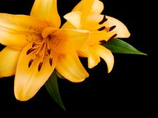 Free Yellow Lilies Stock Photography - 21021942