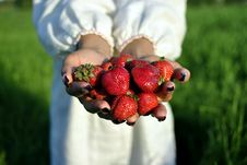Free Handful Of Strawberries In Hands Stock Photos - 21022143