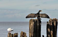 Free Cormorant Royalty Free Stock Photos - 21022498