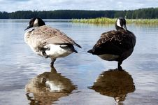 Free Canada Geese And Reflections Stock Photography - 21023022