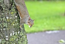 Free Squirrel On A Tree Royalty Free Stock Photos - 21023368