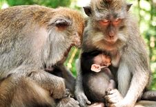 Monkey Family Stock Photography