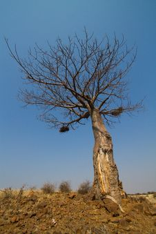 A Baobab Tree Royalty Free Stock Photography