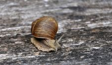 Free Crawling Snail With A Shell Royalty Free Stock Photo - 21024935